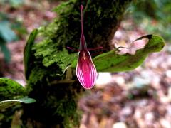 Orchidaceae Restrepina
