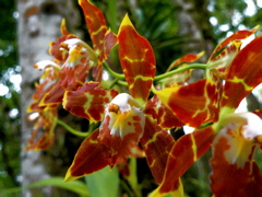Orchidaceae Somethingorotherus